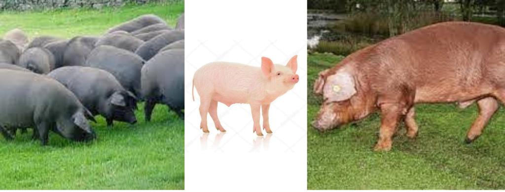 Cerdo ibérico, cerdo blanco, cerdo Duroc
