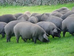 cerdo ibérico para jamones ibéricos