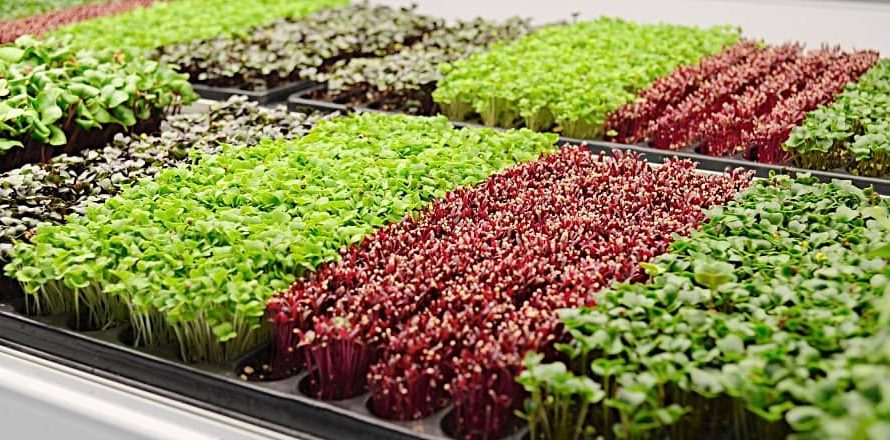 Microverdes: los nuevos invitados a la mesa.